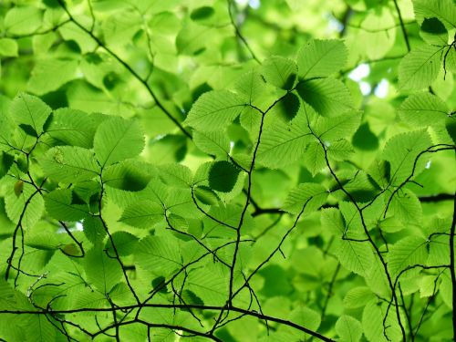 leaves canopy green