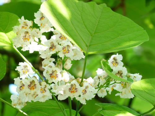 lapai,žalias,gėlės,paprastoji catalpa,catalpa bignonioides,medis,lapuočių medis,bignoniaceae augalai,bignoniaceae,ornamentinis medis,parko medis,gatvės medis,šiek tiek toksiškas