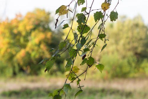 leaves birch wind