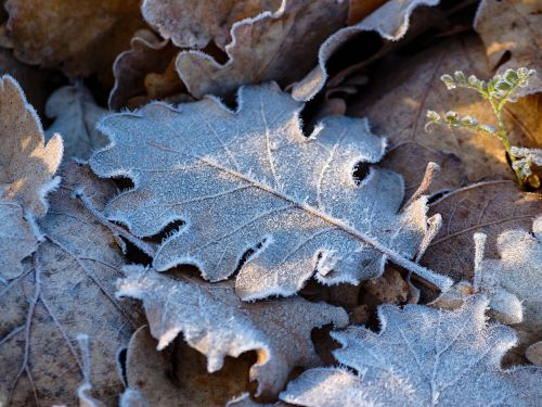 leaves frost ice crystals