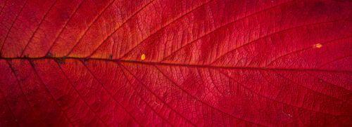 lapai,ruduo,augalai,lapai,lapai,gamta,rudens lapai,raudona,tekstūra