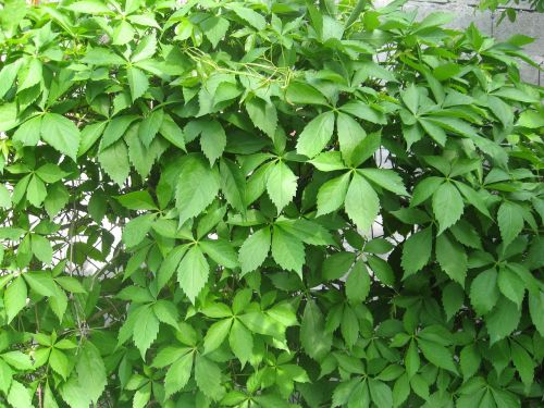 leaves vines virginia creeper