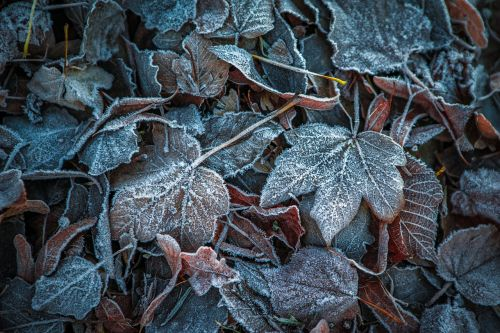 leaves winter frost