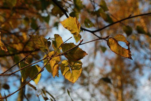 leaves tree nature