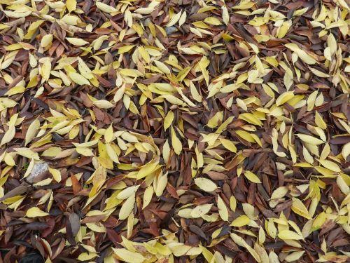 leaves,dead leaves,falling leaves,carpet leaves,autumn,yellow leaves