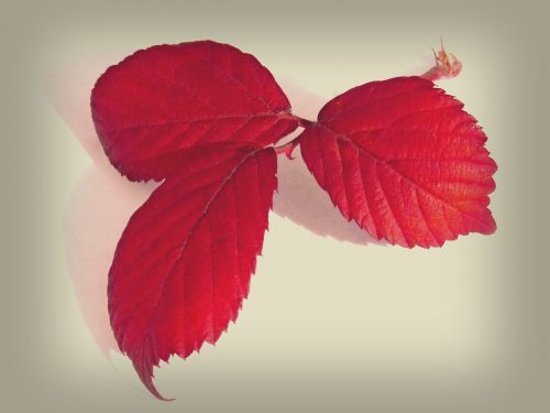 leaves red leaves blackberry