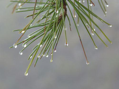 leaves rocio drops