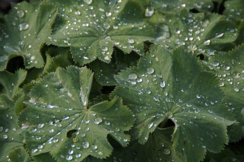 leaves raindrop drip