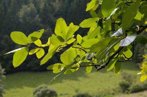 leaves foliage tree