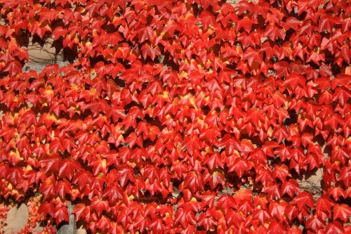 leaves leaf red