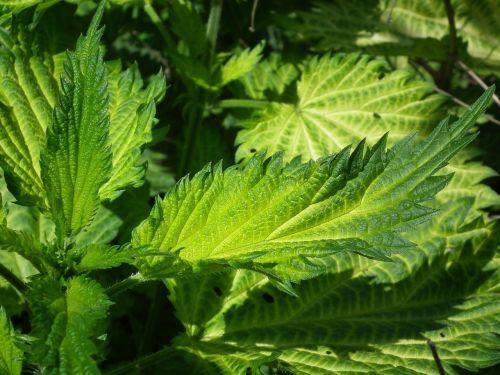leaves nettle green
