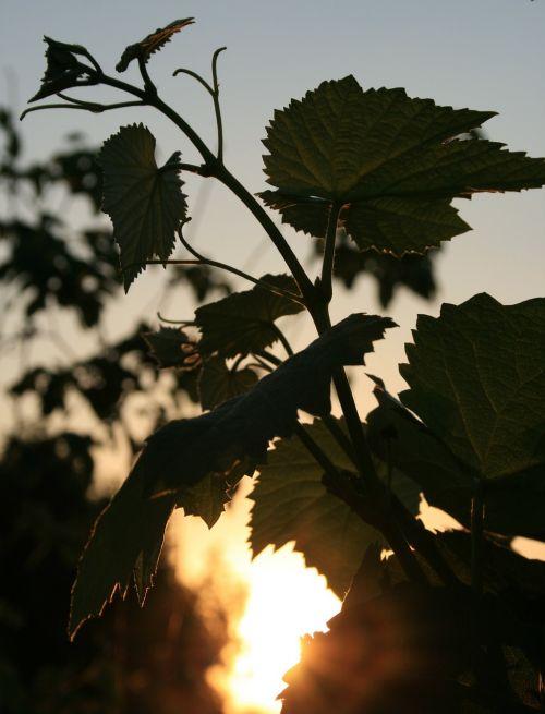 leaves lobed vine