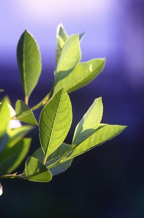 leaves plant sheet