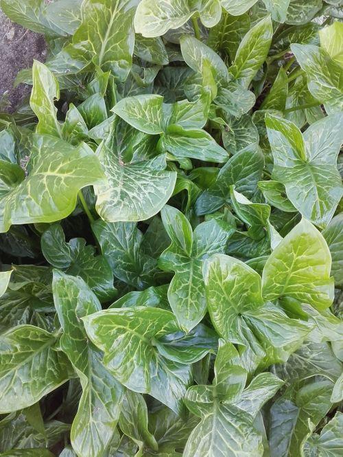 lapai,žalias,flora,augalai,žalias lapas,lapija