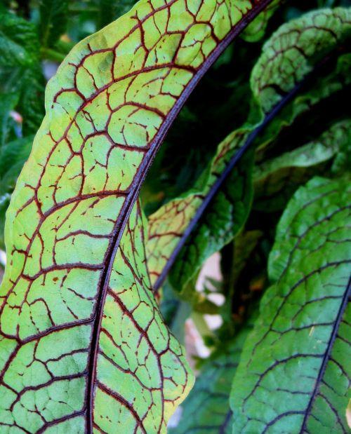 leaves edible green