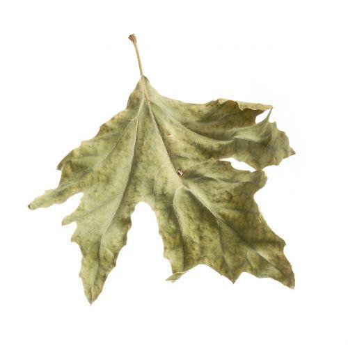 leaves autumn season