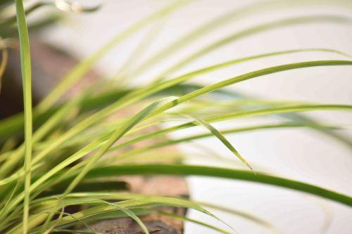 leaves long plant