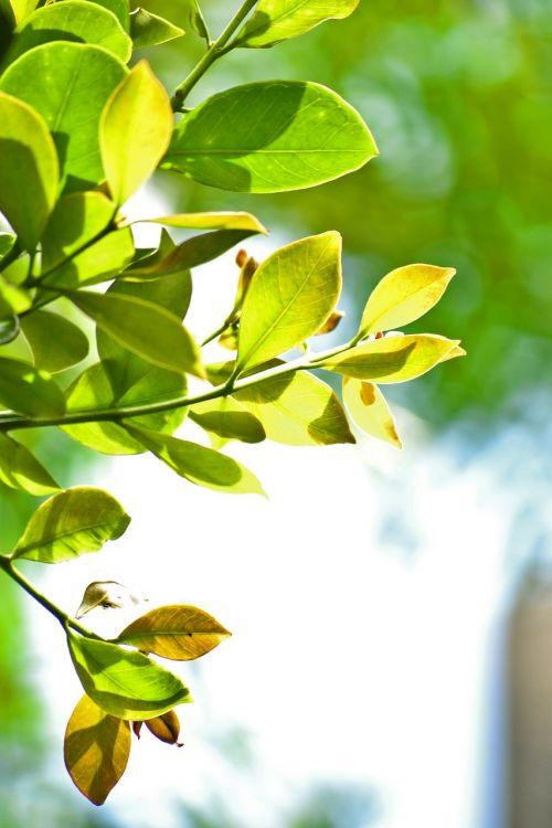 lapai,žali lapai,gamta,medis,Mawanella,ceilonas,Šri Lanka