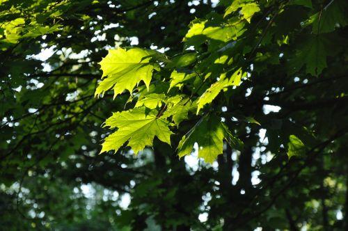 lapai,miškas,medis,lakštas,klevas,šviesa,šviesos spindulys,žalias,medžiai,žali lapai,vasara,žalias fonas,saulės spindulys,klevo lapas,žalias lapas,lapija,gamta,žydėti