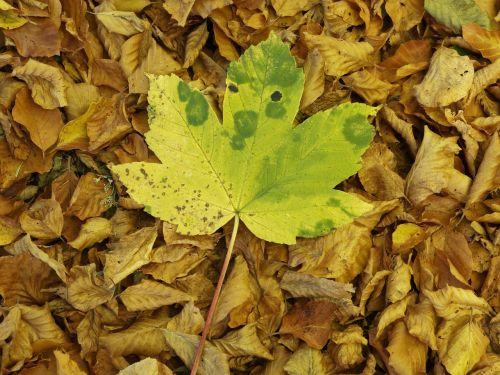 lapai,gamta,kritimas,rudens lapas,rudens lapai,medžių lapai,lapija,augalas,klevo lapai,sausas lapai,negyvas lapelis