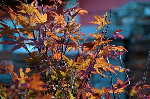 leaves tree maple