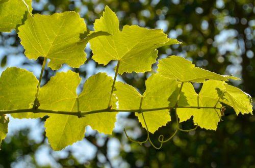 leaves wine wine leaf