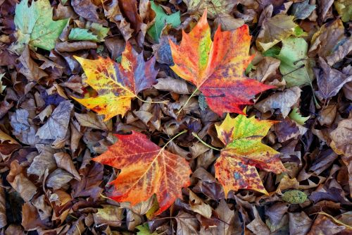 leaves,autumn leaves,fall,fallen leaves,four leaves,autumn,autumn colors,seasonal,pattern,red,golden,green,brown,decoration