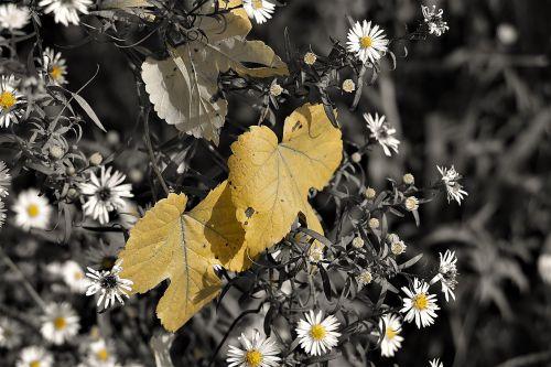 leaves autumn daisy