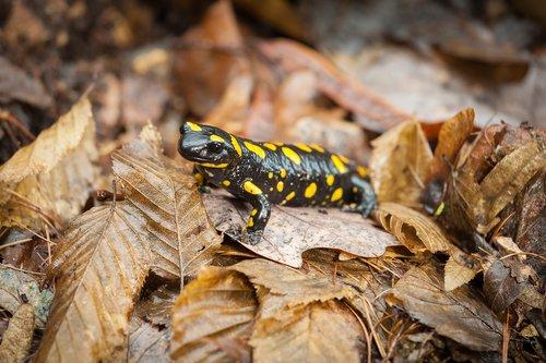 leaves  close-up  fire salamander
