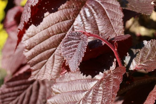 leaves  red  hazelnut