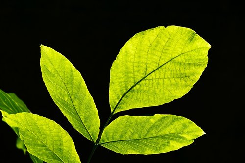 leaves  backlighting  nature