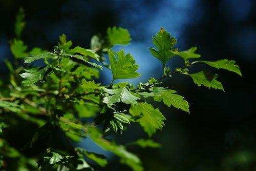 leaves  summer  penumbra