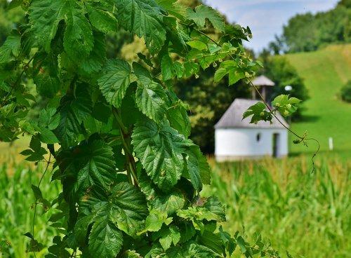 leaves  leaf green  green