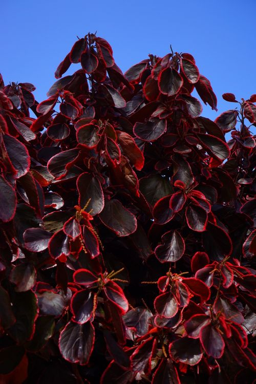 leaves wine red purple