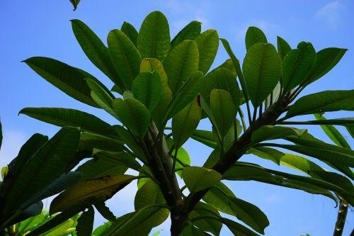 leaves tree green