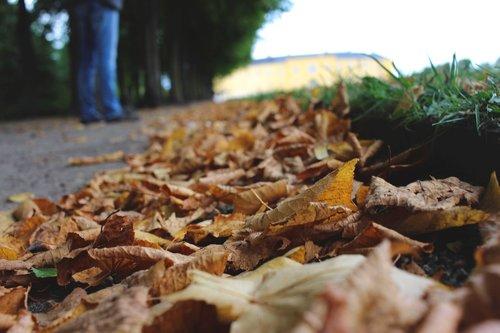 leaves  autumn  golden season
