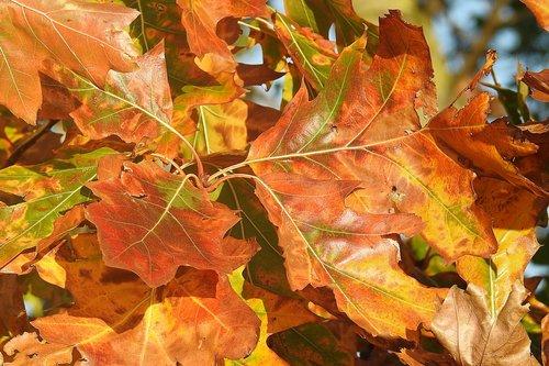 leaves  oak leaves  autumn