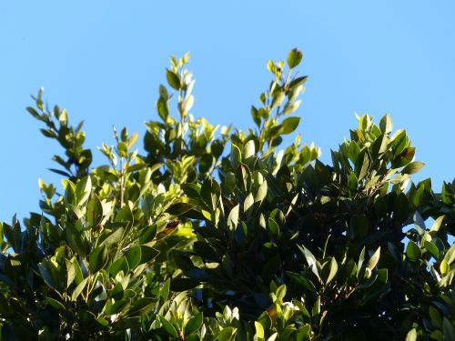 leaves laurel tree