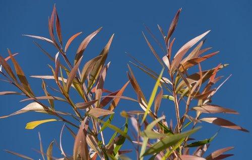 leaves  pink  foliage