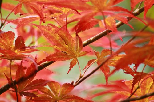 leaves maple japanese maple