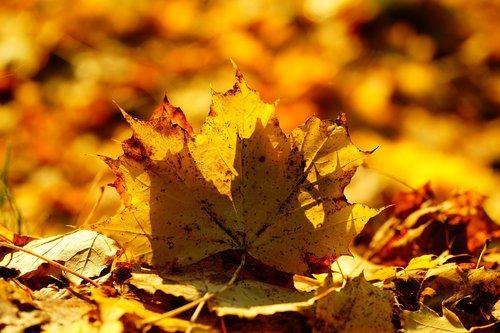 leaves  fall foliage  maple leaf