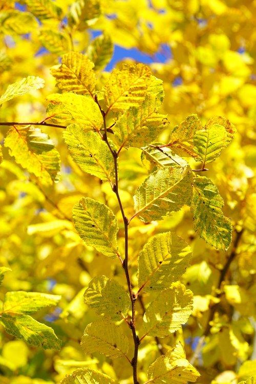 leaves  fall color  fall foliage