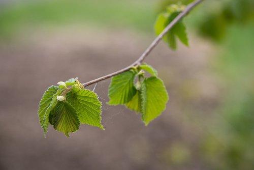 leaves  green  hazelnut