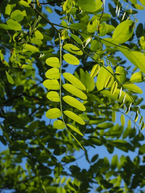 leaves,green,tree,shine through,shades of green,light,light green,dark green,common maple,robinia pseudoacacia,robinia,false acacia,silver rain,ornamental plant,early summer pasture plant,bees,back light,branch,leaf green,chlorophyll,general schotendorn,summer green deciduous tree,summer green,deciduous tree,translucent,bright green,bright,park tree