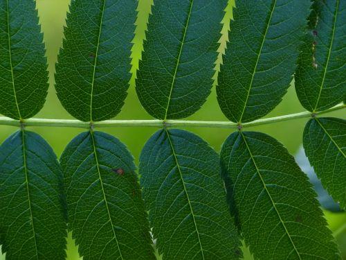 leaves pinnate leaflets