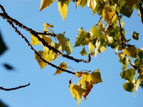 lapai,ruduo,tuopa,spalvinga,spalvos,tuopos lapai,bustard juodoji tuopa,Kanados tuopa,juoda tuopa,populus deltoidai,europinis juodas tuoplas,populus nigra,hibridas