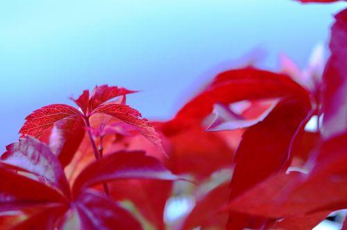leaves red violet