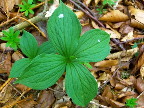 leaves green four leaf herb paris
