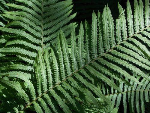 leaves ferns plant