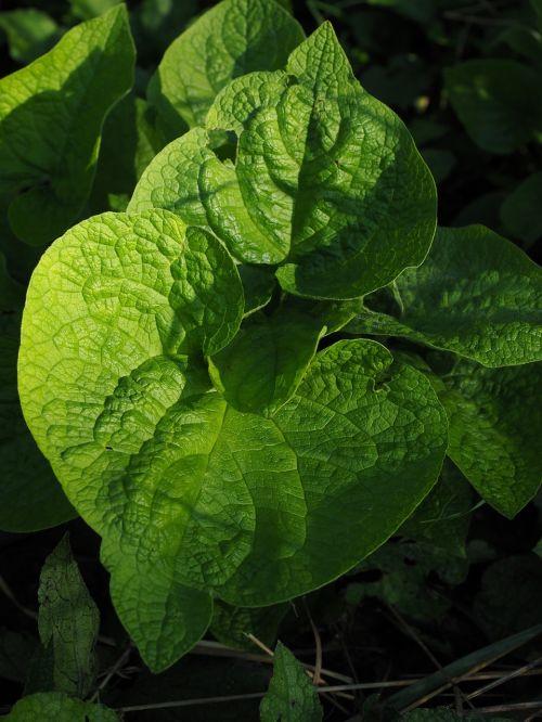 leaves green kraus